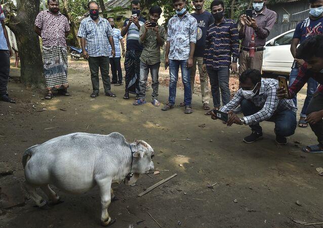 Rani adı verilen cüce inek