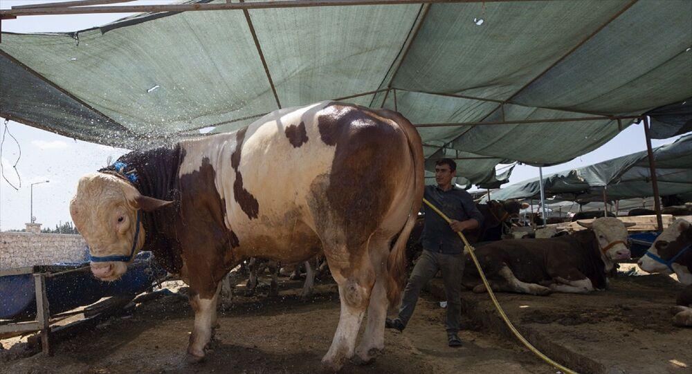 İzmir'in Buca ilçesinde kurulan kurbanlık satış alanına getirilen 1270 kiloluk büyükbaş hayvan, 32 bin liradan satıldı.