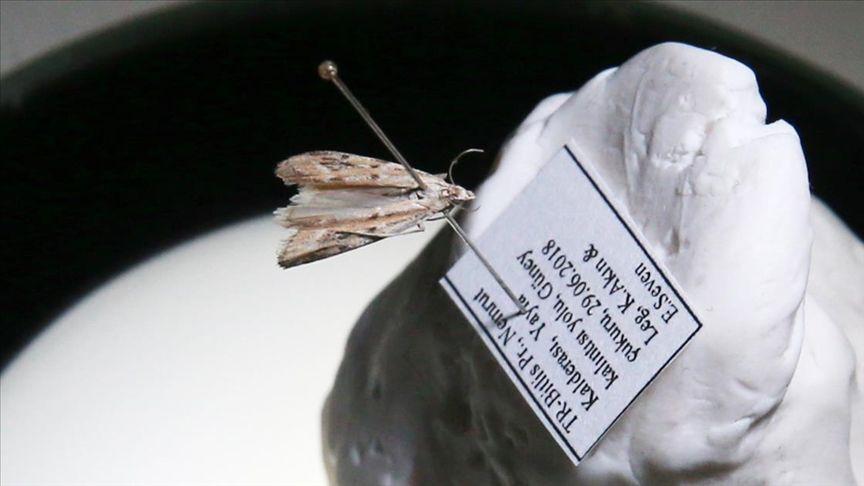 Nemrut Kalderası'nda yeni güve türü Lasritania Beyarslani
