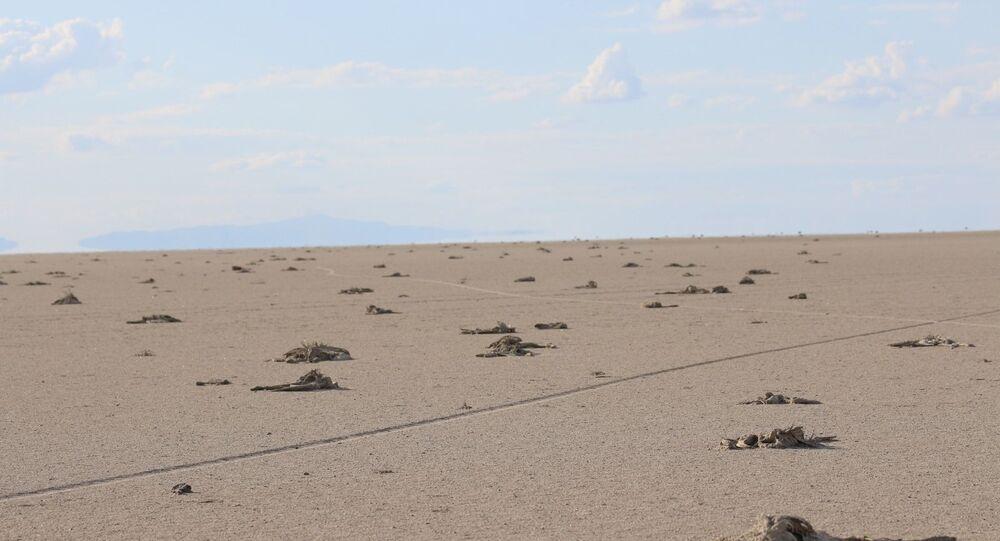 Tuz Gölü'nde yavru flamingo katliamı
