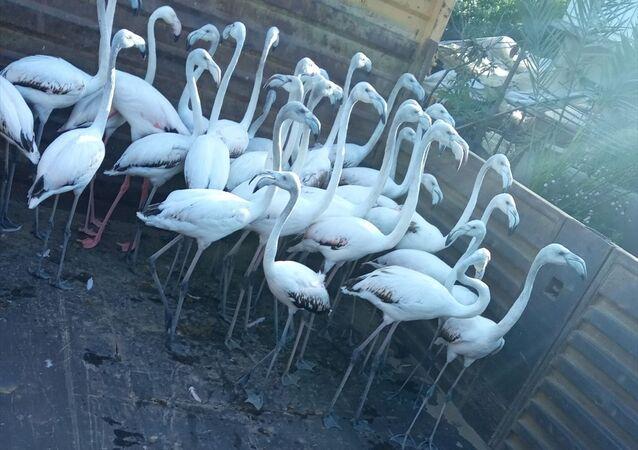 Antalya flamingo