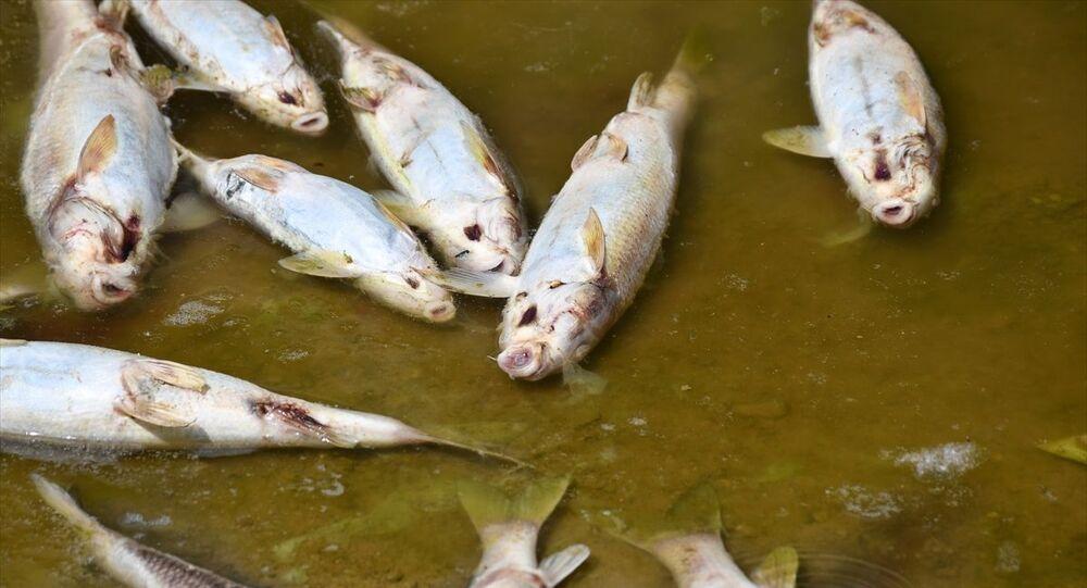 Kızılırmak'taki balık ölümleri