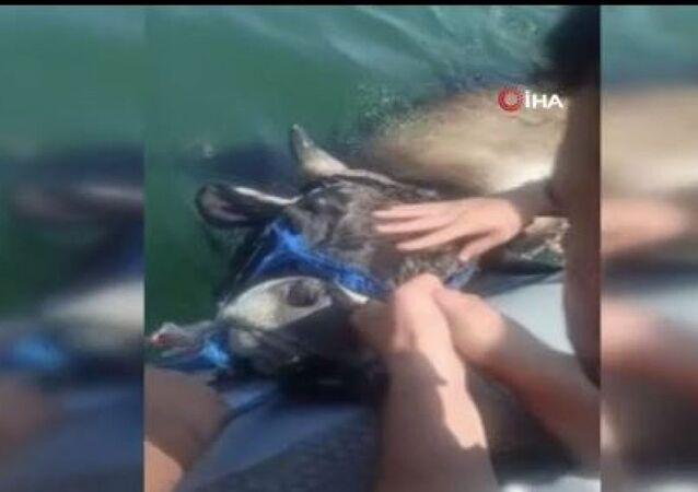 Kasımpaşa'dan denize atlayan kurbanlık dana Balat sahiline kadar yüzdü: Yakalandıktan sonra kesim yerine götürüldü