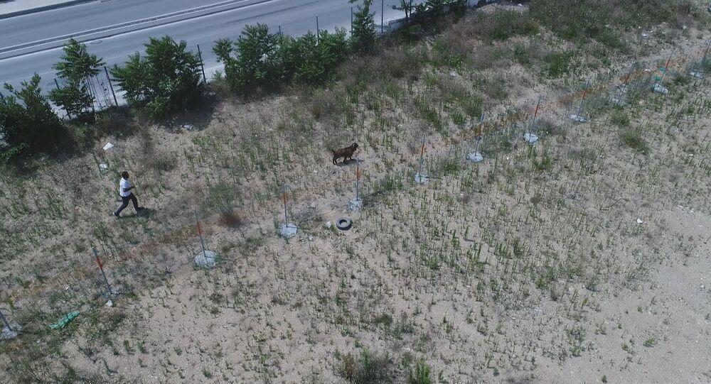 Kaçan kurbanlığı yakalama çabası drone ile görüntülendi