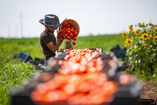 Tarladaki domatesler kasalara dolduruluyor.  - Sputnik Türkiye