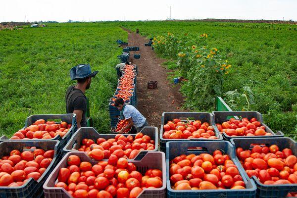 Kasalara doldurulan domatesler daha sonra traktörlerle sergi için kurulan alana taşınıyor. - Sputnik Türkiye