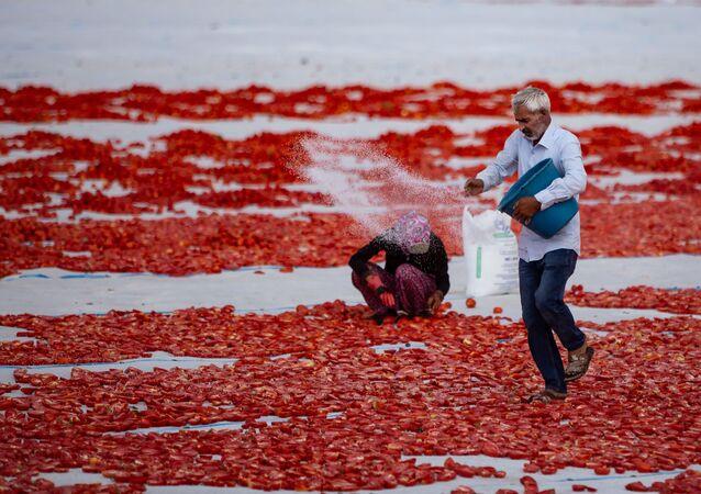 Serilen domatesler, bir işçi tarafından tuzlanıyor.