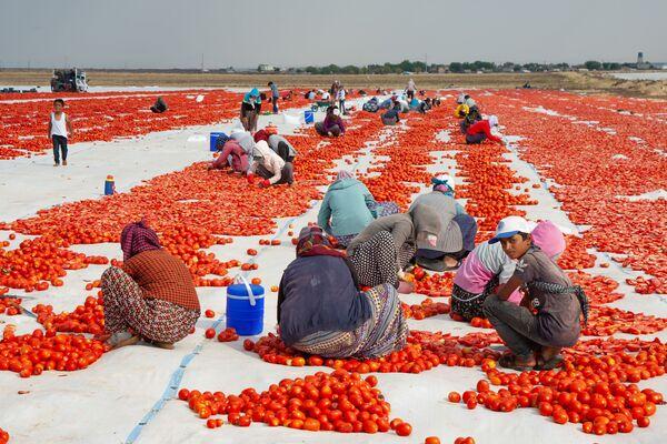Kurutma işleminde yaklaşık 150 işçi çalışıyor.  - Sputnik Türkiye
