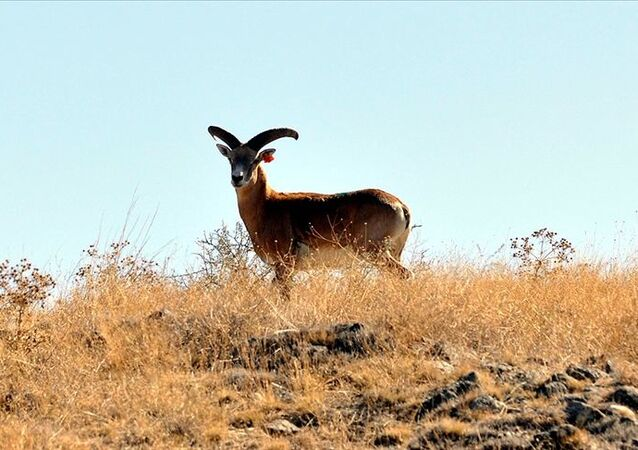 Nesli tehlike altında bulunan Anadolu yaban koyunu