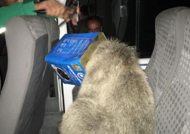 Kafası teneke kutuya sıkışan yavru ayı, Ağrı