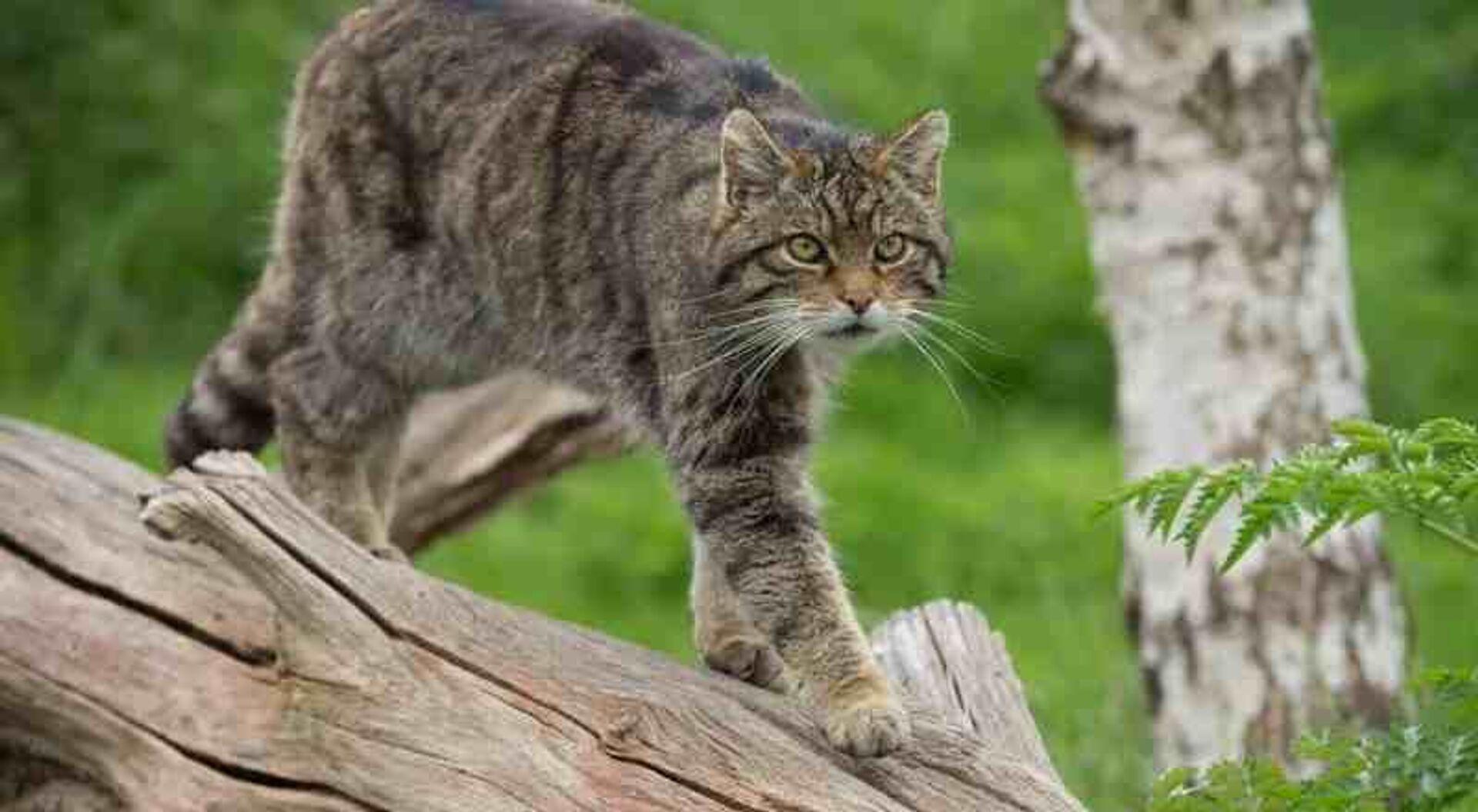 Yaban kedileri yüzyıllar sonra Hollanda'ya geri döndü - Sputnik Türkiye, 1920, 04.08.2021