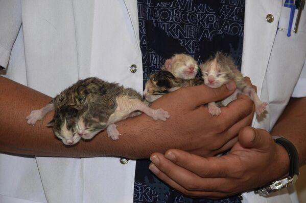 Kedinin doğum sancısı çektiğini ve doğuramadığını fark eden veteriner Atlı, hemen ameliyata alınmasına karar verdi. - Sputnik Türkiye