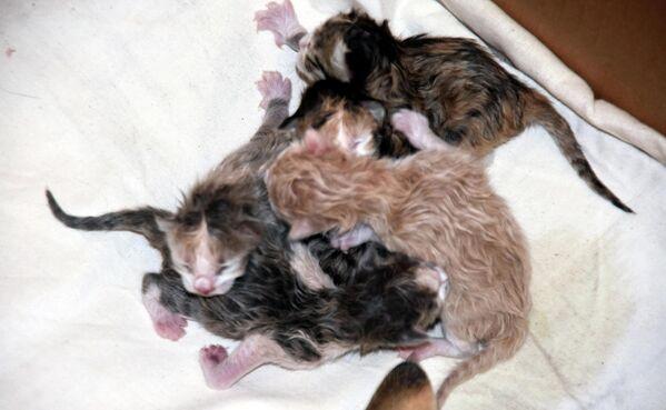 Atlı'nın yaklaşık 45 dakika süren müdahalesinin ardından kedi sezaryenle sağlıklı 5 yavru dünyaya getirdi. - Sputnik Türkiye