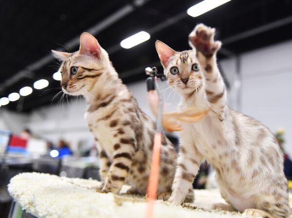 Kedilerin karakterleri ve davranışları araştırması - Sputnik Türkiye
