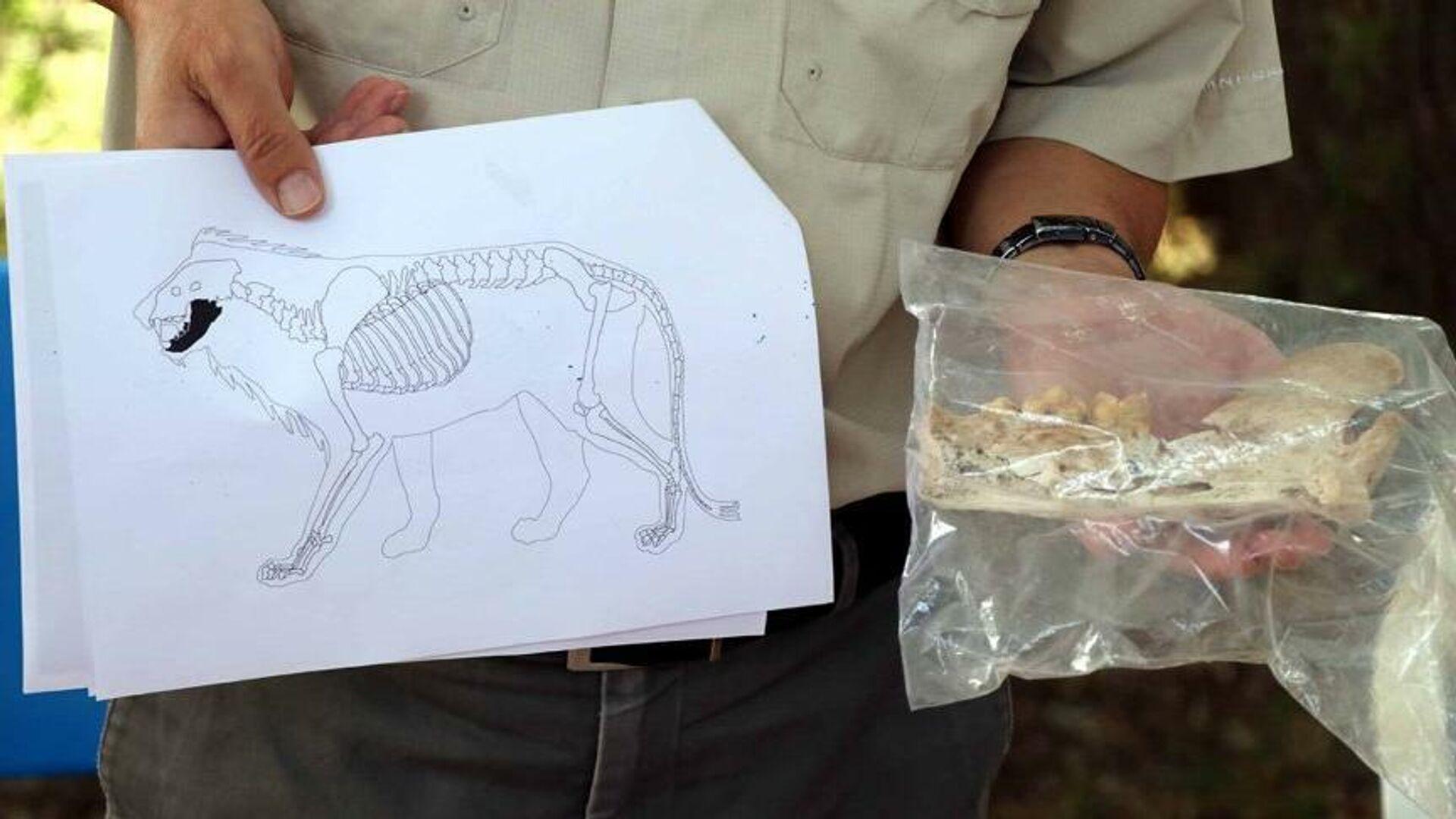 Kayseri'de 4 bin yıl öncesine ait aslan kemiği bulundu - Sputnik Türkiye, 1920, 14.09.2021