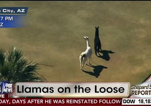 ABD'de hayvanat bahçesinden kaçan lamalar