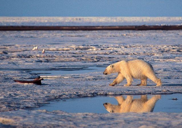 Alaska'daki Milli Arktika Parkı'nda bir kutup ayısı