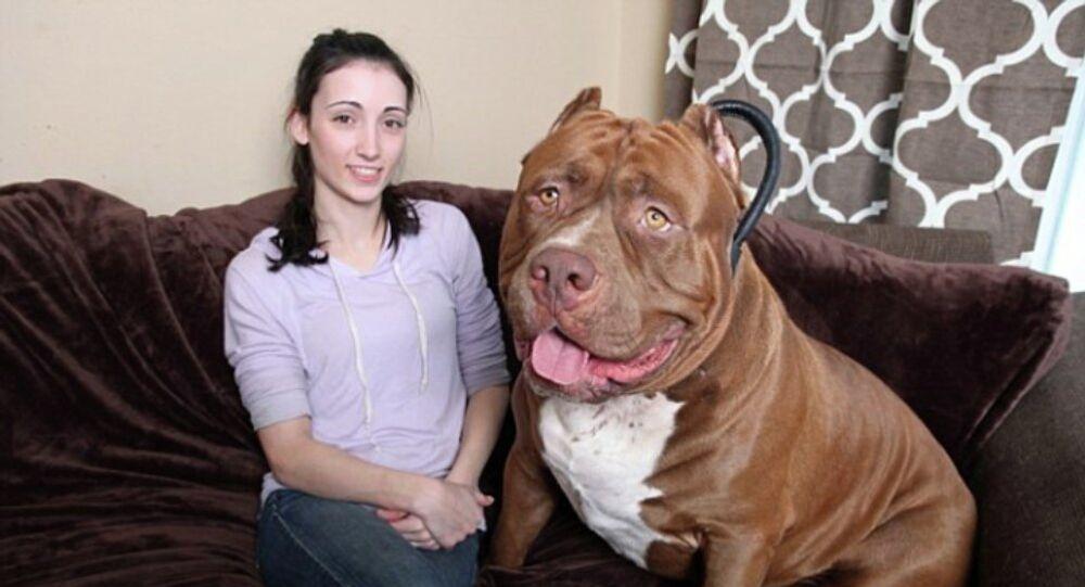 Dünya'nın en büyük pitbull köpeği günde iki kilo et yer