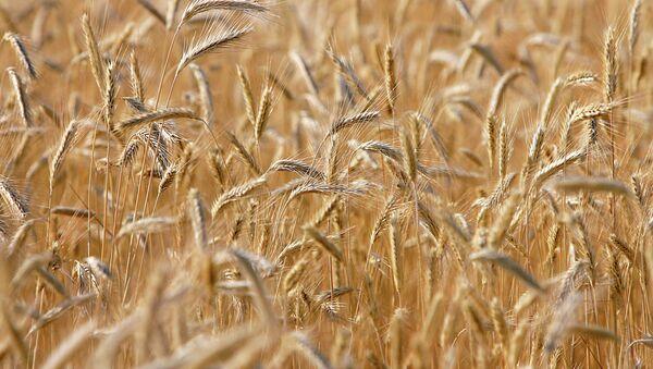 Buğday tarlası - Sputnik Türkiye