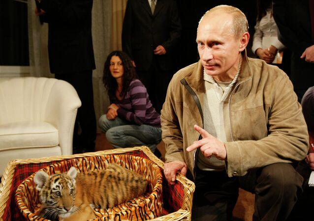 Putin'in Amur kaplanları vahşi doğaya alıştı