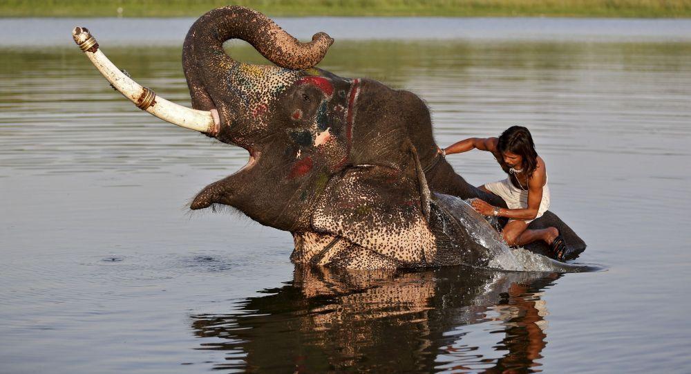 Hindistan'da bir fil sürücüsü nehirde  iş arkadaşını yıkıyor