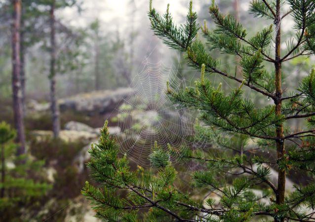 Karelya Cumhuriyeti'nin ormanında örümcek ağı