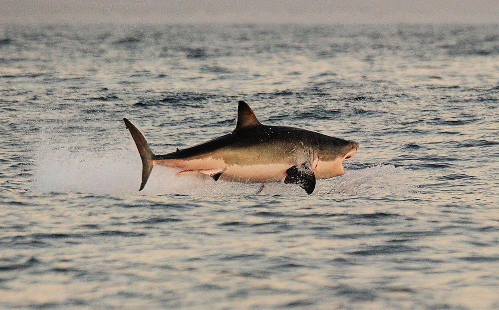 Güney Afrika'daki False Koyu'nun sularında büyük beyaz bir köpekbalığı