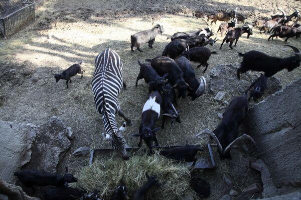 Selden etkilenen Tiflis hayvanat bahçesindeki hayvanlar - Sputnik Türkiye