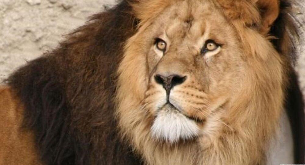 Afrika'nın en ünlü aslanı Cecil