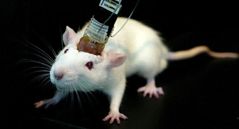 Beyin implantı fare