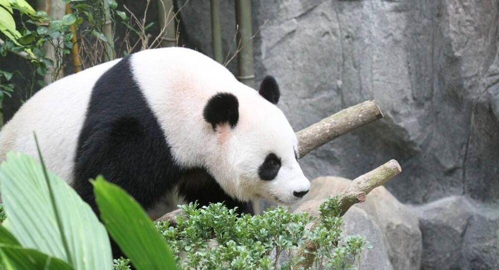 Dünyanın En Yaşlı Pandası