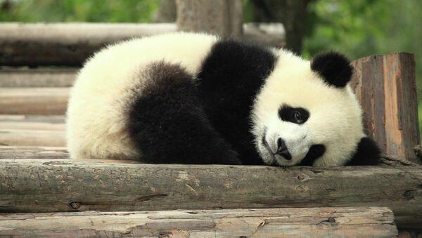 Panda - Sputnik Türkiye