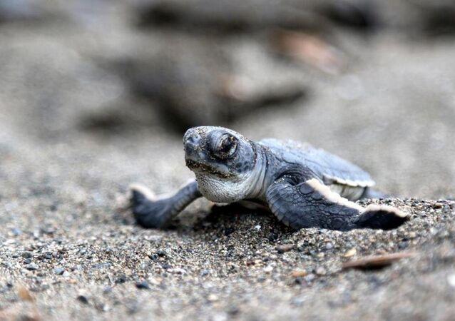 Yeşil kaplumbağa yavruları