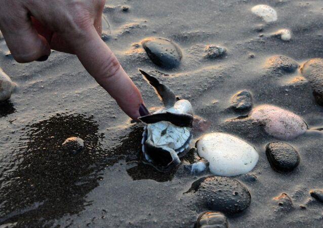 Caretta caretta yavruları denizle buluştu