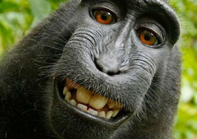 'Selfie yıldızı' maymun