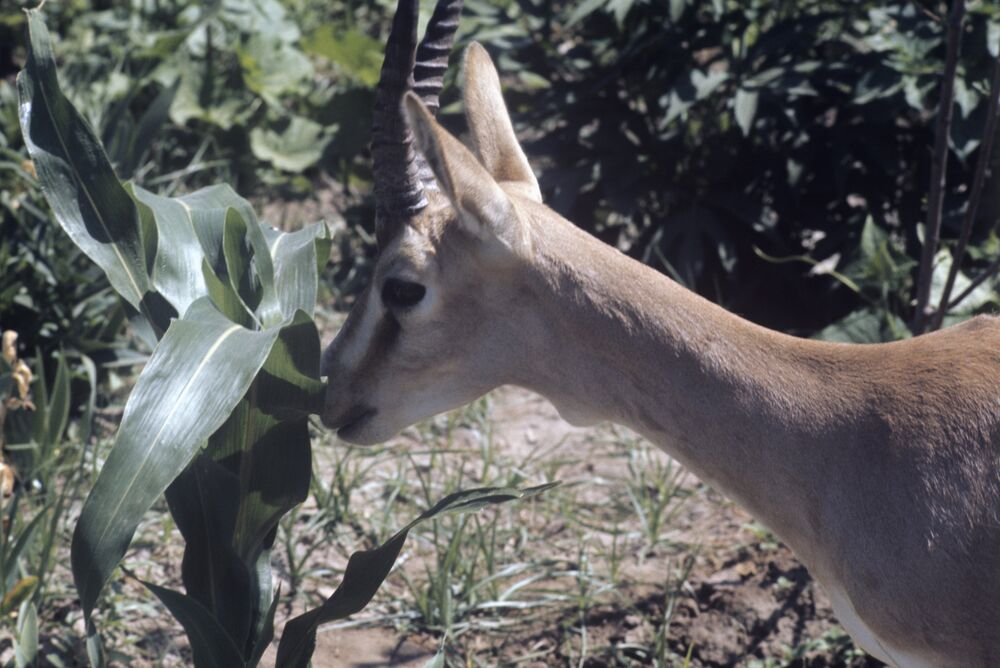 Persian gazelle in the reserve