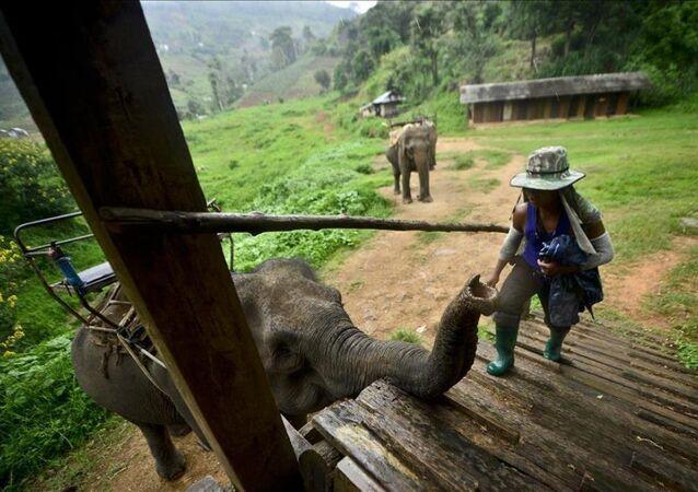 Tayland'ın vazgeçilmezi ve simgesi: Filler