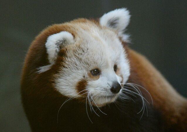 Boz panda