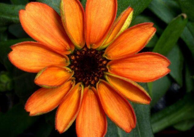 Uzayda yetişen ilk çiçek