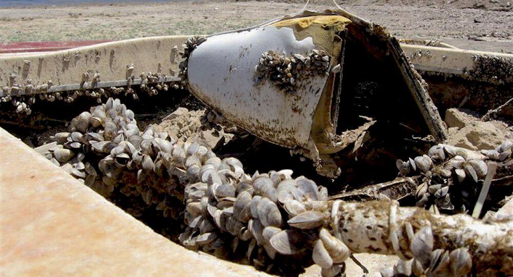 Dışkı yiyen midyeler, İngilizlerin kabusu oldu