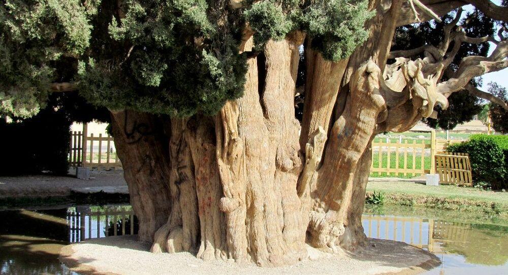 Dünyanın en yaşlı ikinci ağacı İran'da