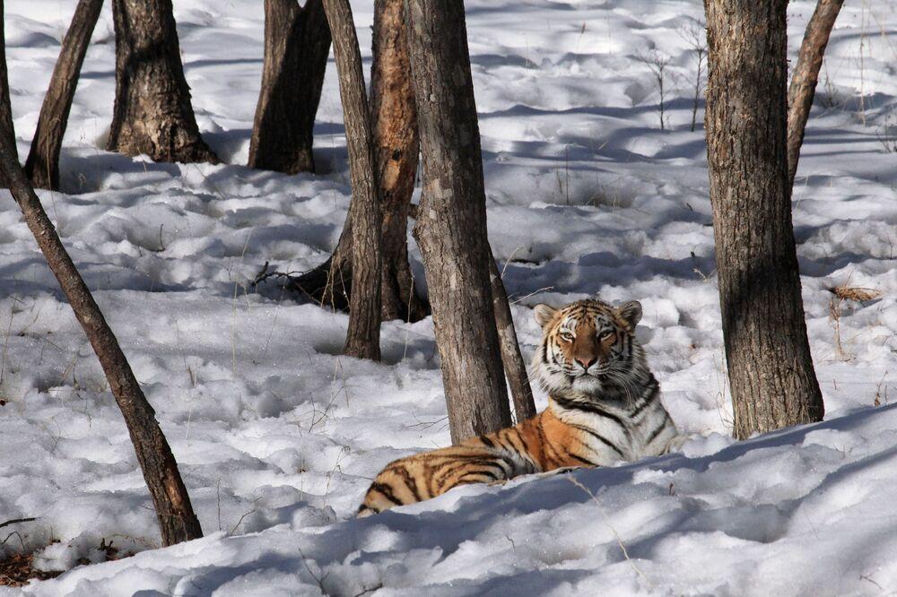 Primorski Doğal Yaşam Parkı'ndaki Tayga adlı dişi Amur kaplanı.