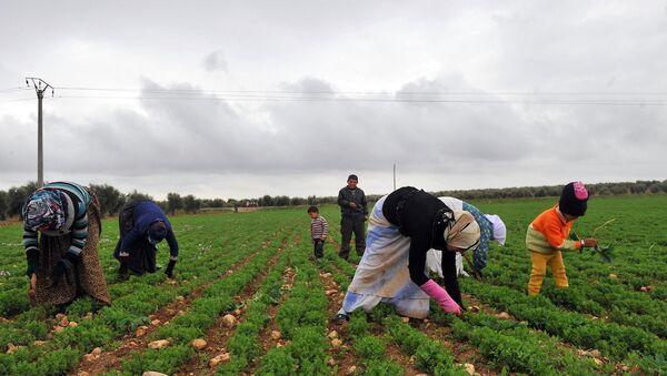 Azez'deki bir tarlada çalışan Suriyeli kadınlar - Sputnik Türkiye