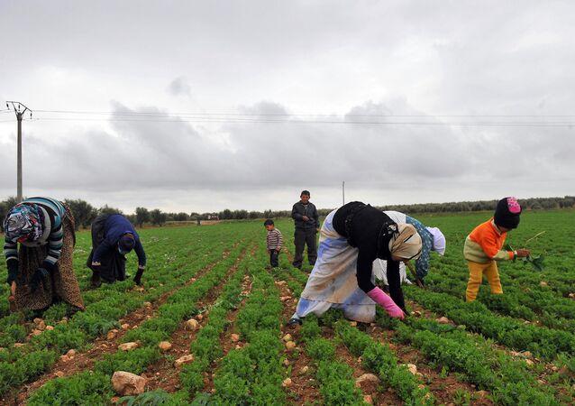 Azez'deki bir tarlada çalışan Suriyeli kadınlar
