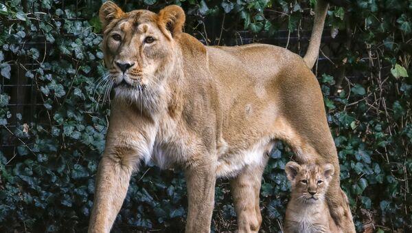 Belçika hayvanat bahçesinde dünyaya gelen Asya aslan yavruları - Sputnik Türkiye