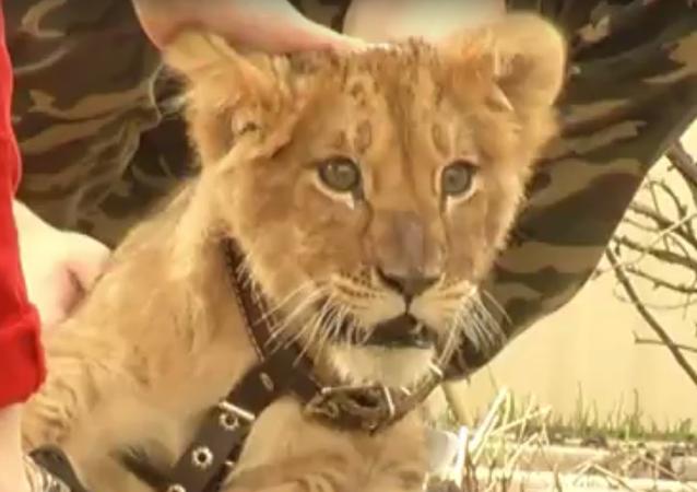 Rusya'nın Nijnıy Novgorod kentinde yaşayan iki kardeş, evcil hayvan olarak kendilerine bir aslan aldı.