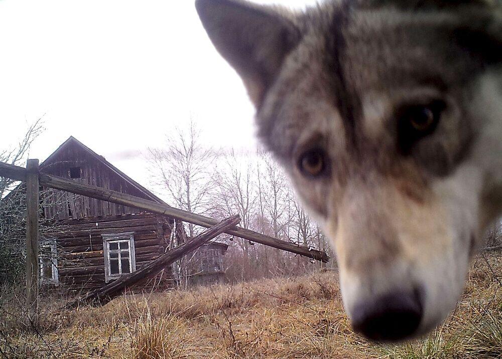 Terkedilmiş Oreviçi köyünde yaşayan kurt.