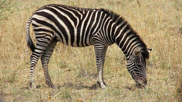 Zebra - Sputnik Türkiye