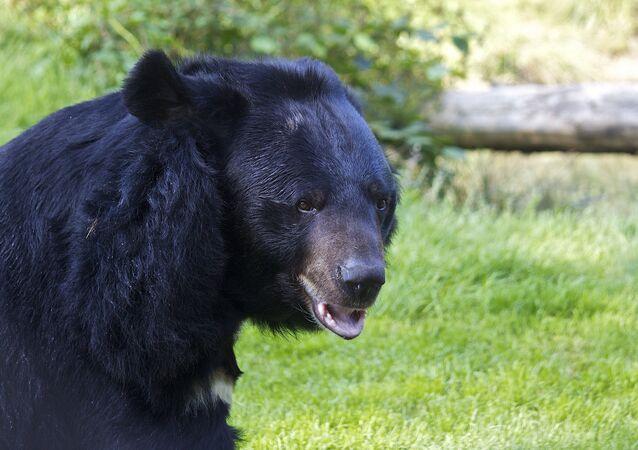 Asya siyah ayısı