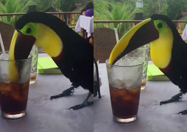 Meraklı kuş, soğuk kolanın tadını çıkardı